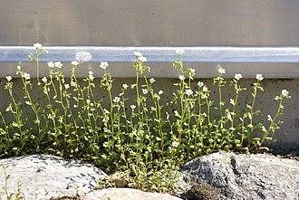 Hybrid speciation - Saxifraga osloensis, a natural tetraploid hybrid species