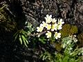 Saxifraga paniculata, Slate Islands.jpg