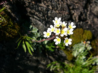 Slate Islands (Ontario) - Saxifraga paniculata, growing at Williams Point in the Slate Islands