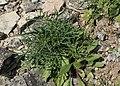 Scabiosa columbaria kz06.jpg