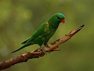 Scaly-breasted lorikeet - Kobble Creek, SE Queensland
