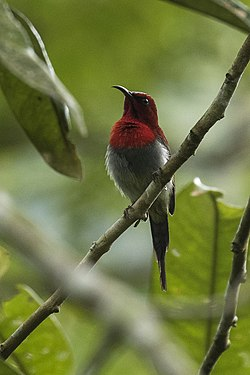 Scarlet ( Javan ) Sunbird - Carita MG 3470 (29363983070).jpg