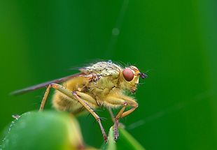 """Male <em><a href=""""http://search.lycos.com/web/?_z=0&q=%22Scathophaga%20stercoraria%22"""">Scathophaga stercoraria</a></em>, the yellow dung fly"""