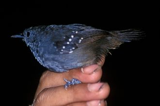 Spot-winged antbird - Image: Schistocichla leucostigma