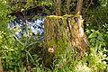 Schleswig-Holstein, Neuendorf, Naturdenkmal NIK 6252.JPG