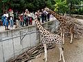 Schmiding - Giraffen.jpg