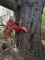 Scots Pine Pinus sylvestris.jpg