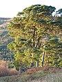 Scots Pine at Invergaunan, Glen Orchy - geograph.org.uk - 86459.jpg