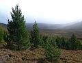 Scots Pines Monadh Mor.jpg