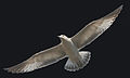 Seagull4.jpg