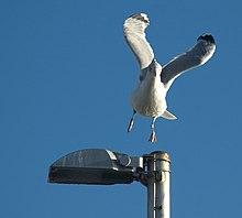 Seagull landing.jpg