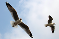 Seagulls in motion.png