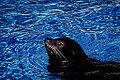 Seal at Washington Zoo (12156960336).jpg