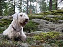 Sealyham terrier.JPG