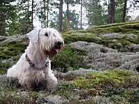 Sealyham terrier.JPG