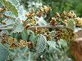 Searsia batophylla, bloeiwyses, c, Walter Sisulu NBT.jpg