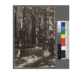 Secondgrowth Redwood Yield Study. North fork of Gualala River - plot -12 - a 41 year old stand of pure redwood - 110 thousand board feet per acre. Oct. 1922.png