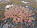 Sedum album (Crassulaceae) (White Stonecrop), Arnhem, the Netherlands.jpg