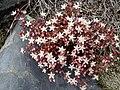 Sedum brevifolium 6 (Picos).JPG