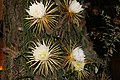 Selenicereus grandiflorus (3).jpg