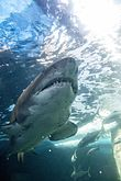 Shark - Two Oceans Aquarium - Cape Town, South Africa.jpg