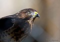 Sharp-shinned-hawk-4a.jpg