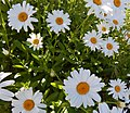 Shasta daisy Leucanthemum.jpg