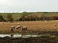 Sheep, East Stowell - geograph.org.uk - 282665.jpg