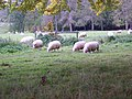 Sheep, Eastbury Estate - geograph.org.uk - 1022966.jpg
