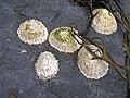 Shells, Culdaff - geograph.org.uk - 1338709.jpg