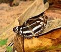 Short-banded Sailer Neptis columella at Kanha Tiger Reserve, Madhya Pradesh IMG 9858 (7).JPG