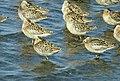 Short-billed dowitcher flock at shoreline (5721073274).jpg