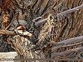 Short-eared Owl (Asio flammeus) (51366071169).jpg