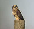 Short-eared Owl on fence post.JPG