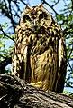 Short-eared owl (Asio flammeus) 2.jpg