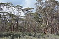 Shrubs in foreground, Trees in background, Dryandra Woodland, Western Australia.jpg