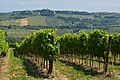Siena vineyards.jpg