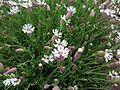 Silene uniflora 03.JPG