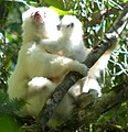 Silky Sifaka Male Infant Care.jpg