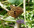 Silver-washed Fritillary. Argynnis paphia. Female - Flickr - gailhampshire (1).jpg