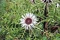 Silver thistle - Carlina acaulis - panoramio (4).jpg
