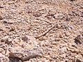 Sinai snake near.jpg