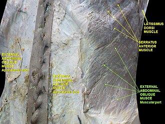 Abdominal external oblique muscle - Image: Slide 8hel