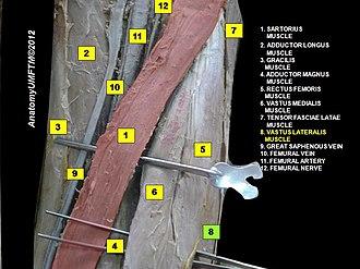 Vastus lateralis muscle - Image: Slide 8www