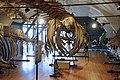 Slottsfjellsmuseet Museum Hvalhallen (Whale Hall) Tønsberg, Norway. Hvalskjeletter (Old skeletons) Finnhval (Fin whale 1895 left ) Blåhval (Blue whale 1900 middle) Nebbhval (Bottlenose whale right) etc 2020-01-21 2294.jpg