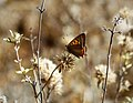 Small Copper Lycaena phlaeas - Flickr - gailhampshire.jpg