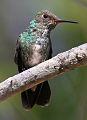 Small hummingbird on Petrea volubilis (9591300323).jpg