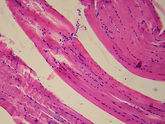 Smooth muscle - Image: Smooth muscle tissue