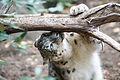 Snow Leopard Smelling Branch (22221568450).jpg