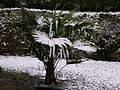 Snow on Trachycarpus fortunei.JPG